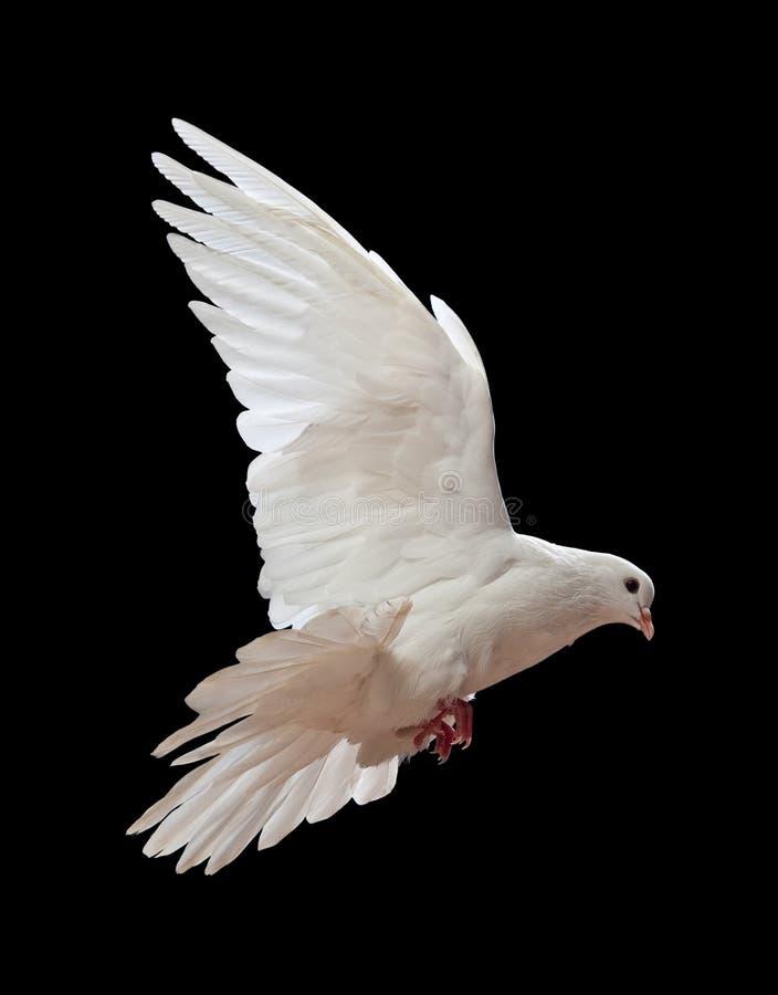 Una colomba bianca di volo libero isolata sul nero fotografia stock libera da diritti