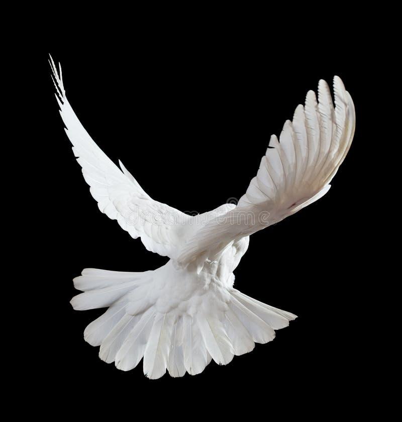Una colomba bianca di volo libero isolata sul nero