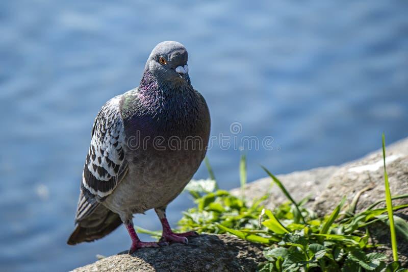 Una colomba bluastra si siede da uno stagno fotografia stock