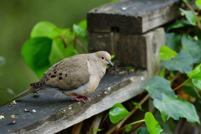 Una colomba di mattina che si siede sul recinto immagini stock libere da diritti