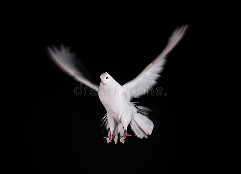 Una colomba libera di bianco di volo immagine stock libera da diritti