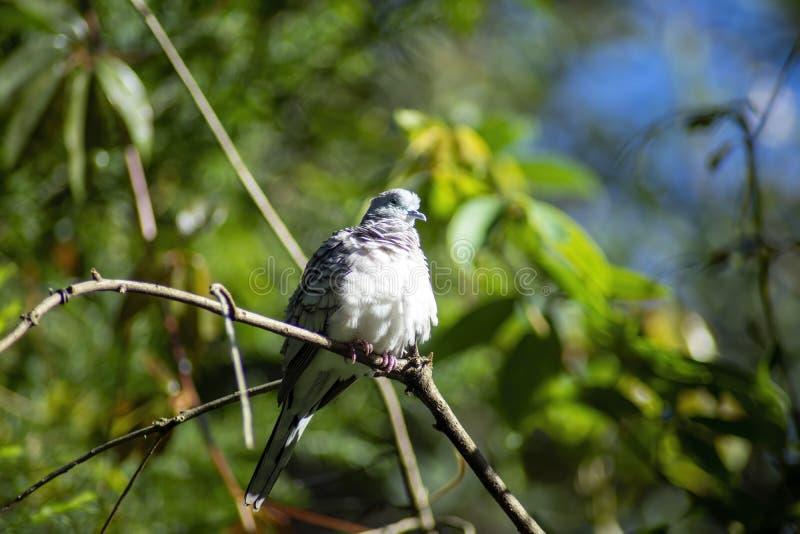 Una colomba pacifica appollaiata su un ramo, Sydney, Australia fotografia stock libera da diritti