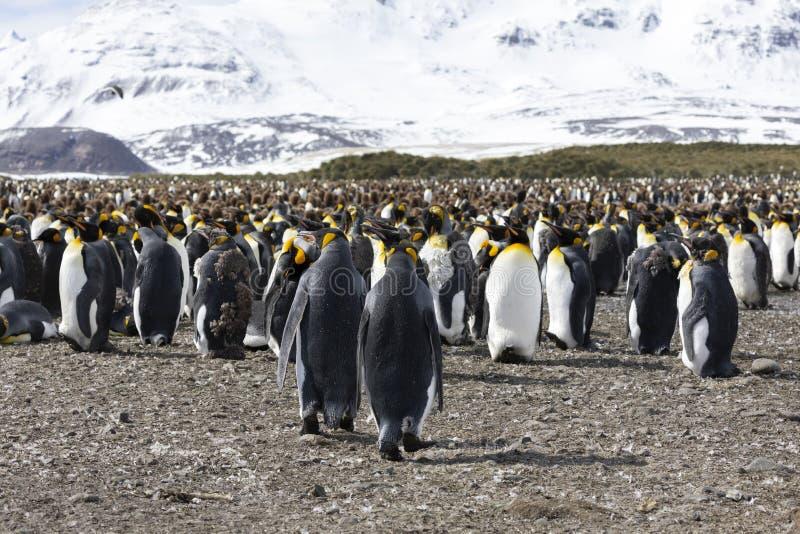 Una colonia de pingüinos de rey con sus polluelos en el centro de la colonia fotografía de archivo