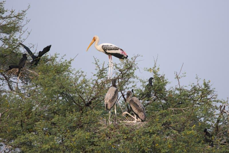 Una colonia de varía los pájaros que viven juntos jerarquizando en árboles grandes Cigüeñas pintadas, cormoranes, spoonbill fotografía de archivo libre de regalías