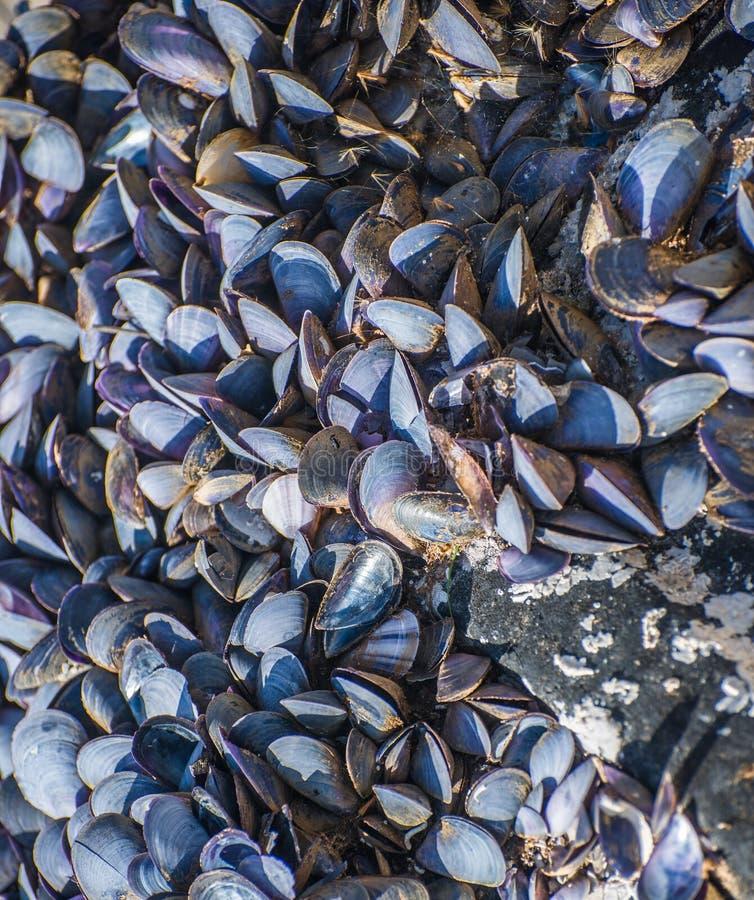 Una colonia dei molluschi fotografie stock