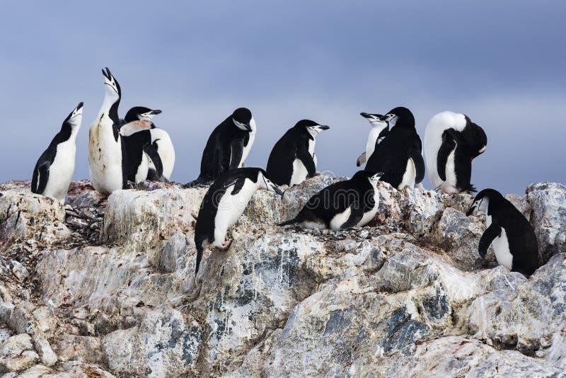 Una colonia del pingüino de Chinstrap con las rocas fotos de archivo