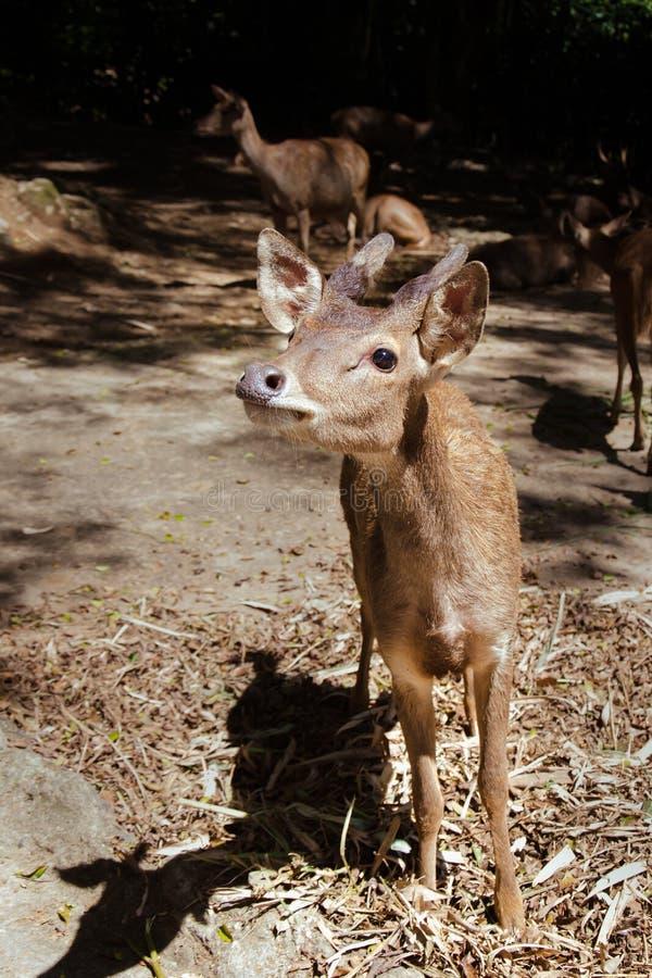 Una comida que espera de los ciervos jovenes de Bawean para fotos de archivo