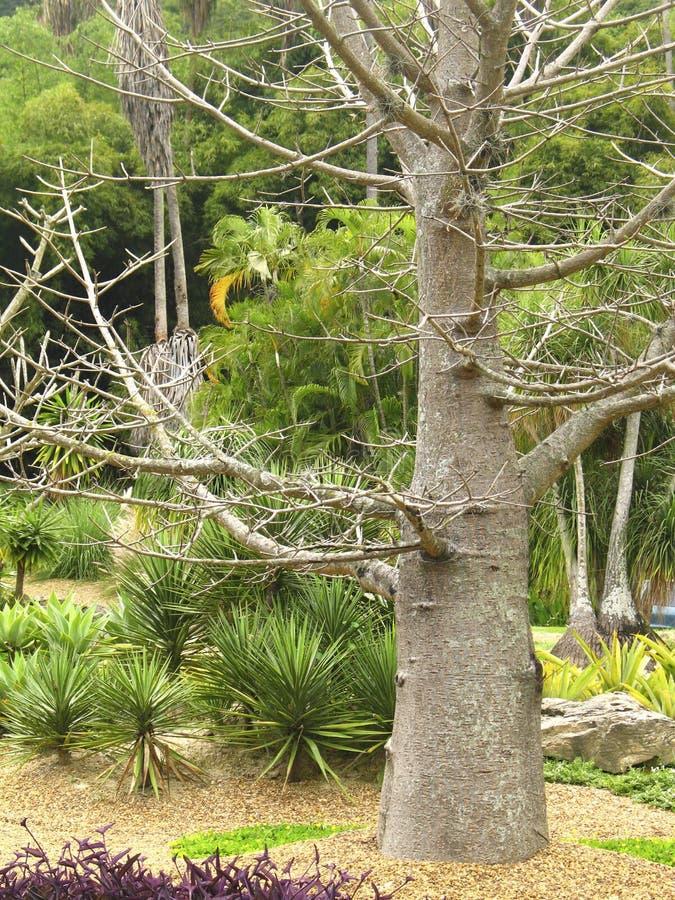 Una conífera del pino en el género pinus del Pinaceae de la familia fotos de archivo