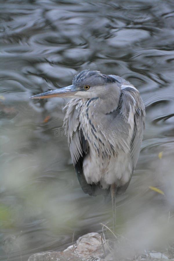 Una condizione dell'airone nella palude che controlla l'ambiente fotografia stock