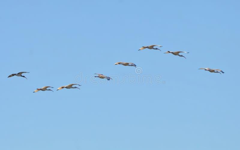 Una congregazione dell'ibis bianco sorvola Amelia Island Greenway fotografia stock
