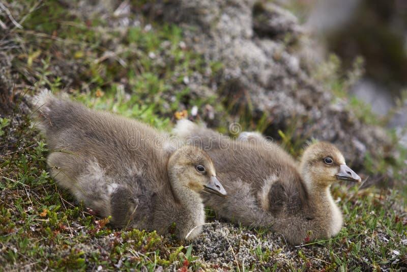 Una coppia di anatroccoli islandesi dell'edredone. fotografia stock