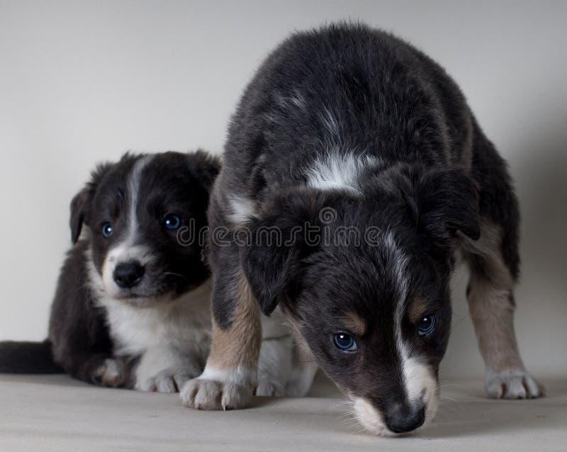 Una coppia di due giovani cani pastore di border collie insieme fotografie stock