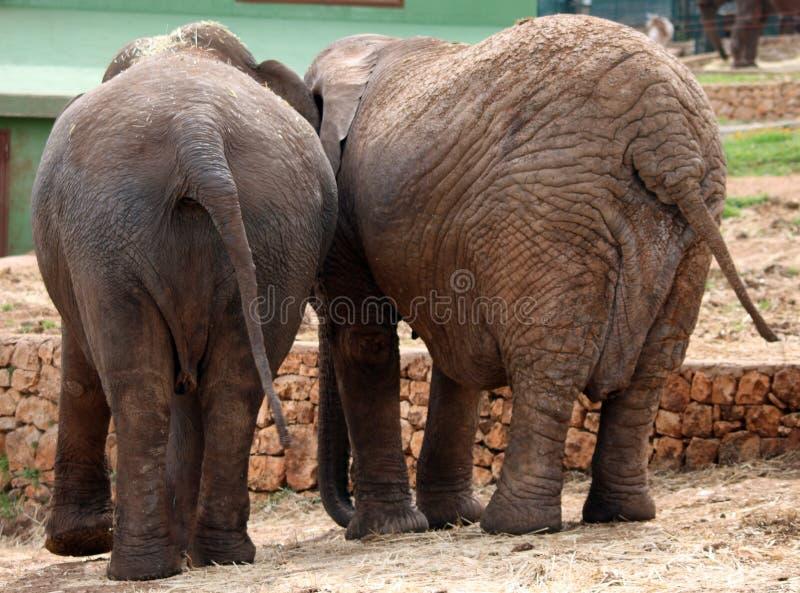 Una coppia di elefanti fotografia stock