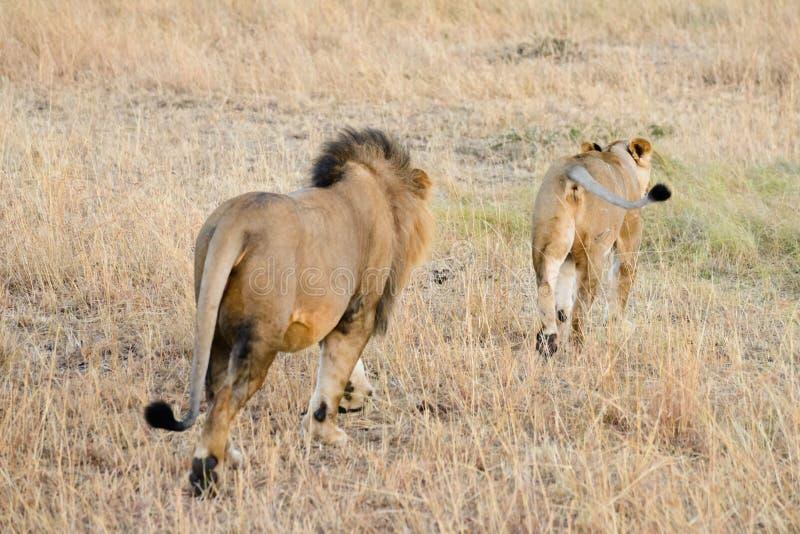 Una coppia di leone dell'Africa fotografia stock