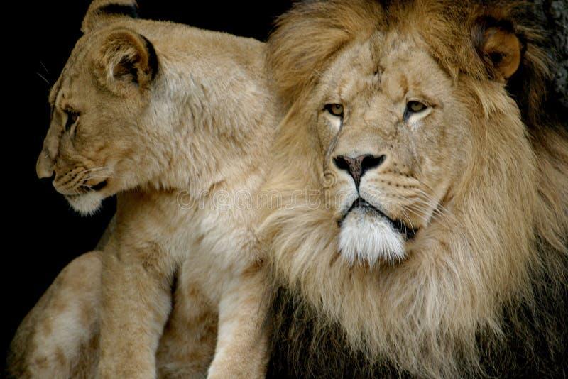 Una coppia di leoni immagine stock
