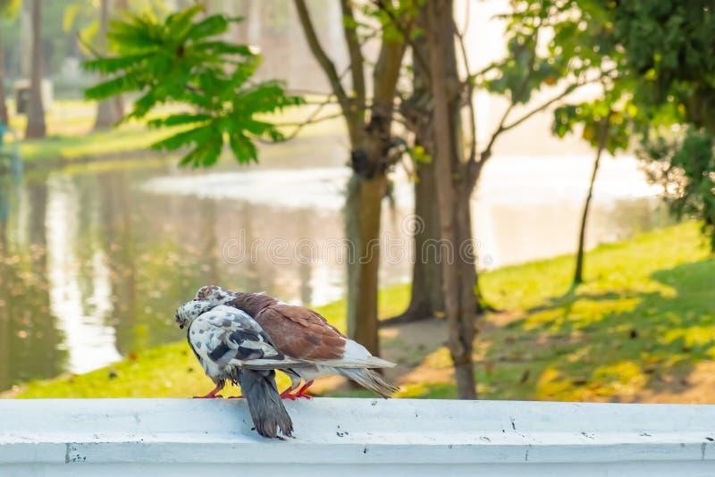 Una coppia di piccioni che si prendono in giro felicemente immagini stock