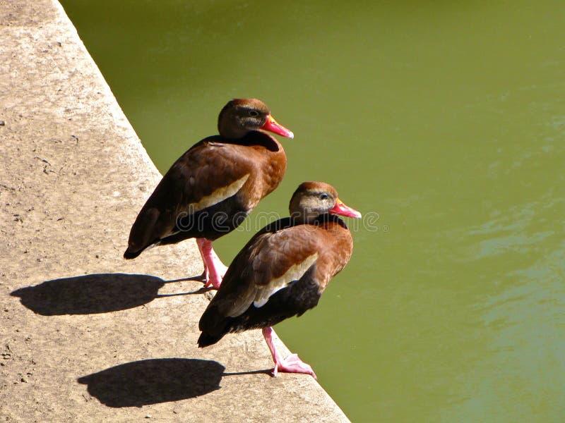Una coppia di uccelli immagine stock