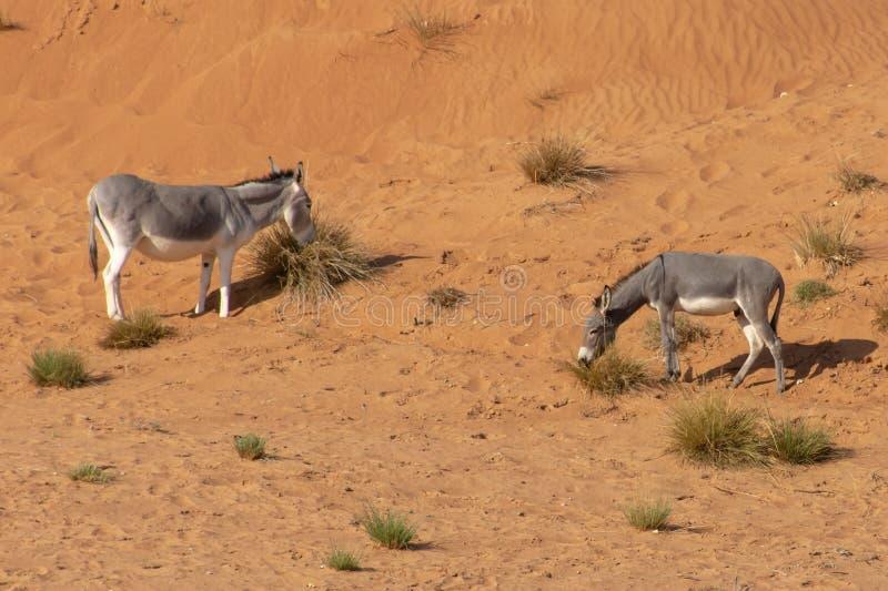 Una coppia gli asini d'alimentazione nella sabbia immagini stock