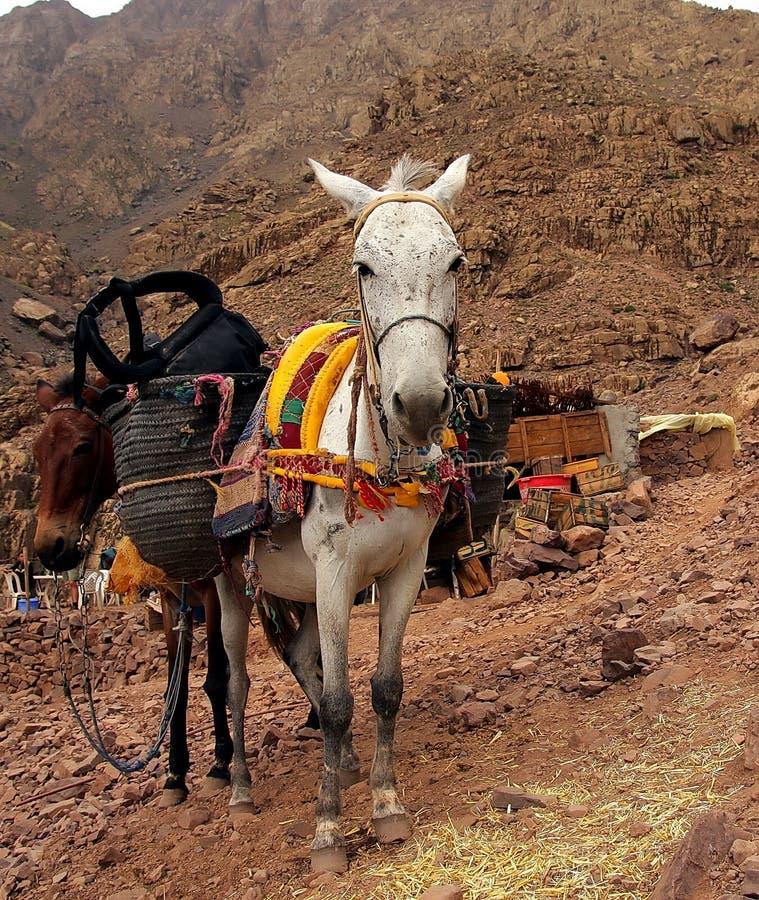 Una coppia gli asini marocchini che riposano con il loro trasporto sull'annuncio fotografia stock