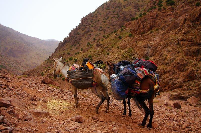 Una coppia gli asini marocchini che riposano con il loro trasporto sull'annuncio immagine stock libera da diritti
