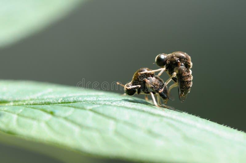 Una coppia gli insetti fotografia stock libera da diritti