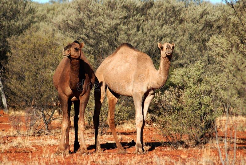 una coppia i cammelli selvaggi australiani fotografia stock