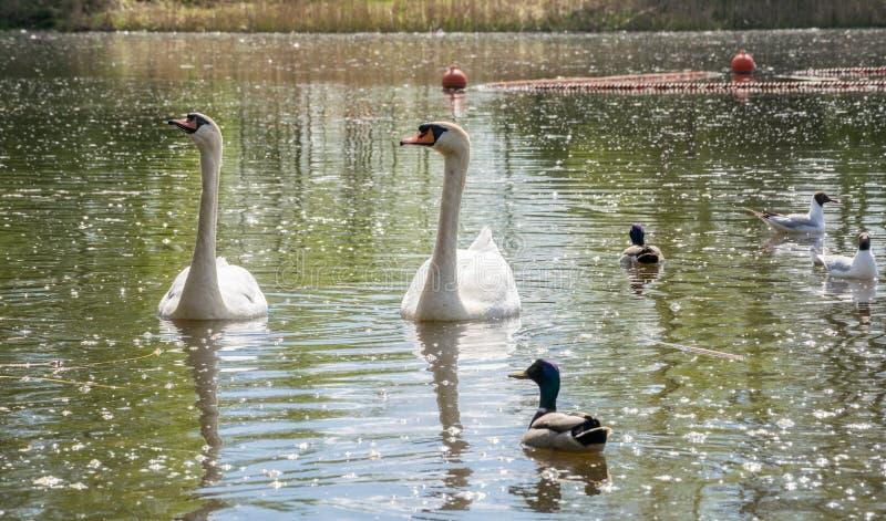 Una coppia i cigni bianchi che galleggiano nel lago nella societ? delle anatre e dei gabbiani immagine stock libera da diritti
