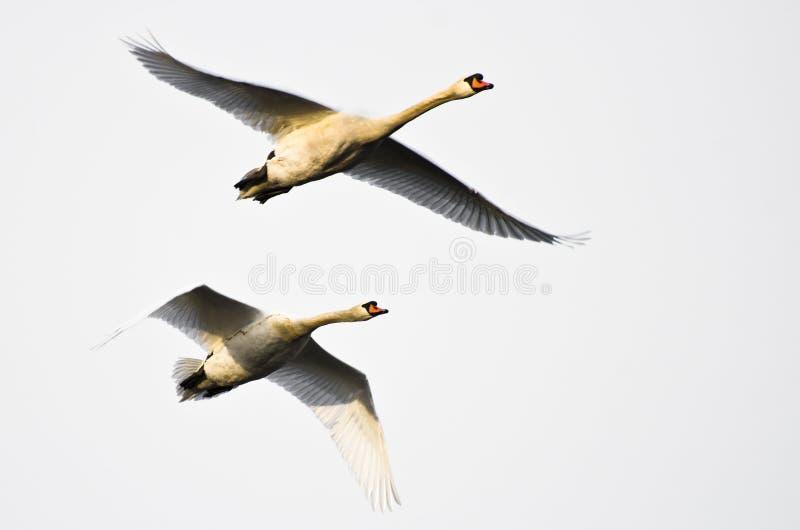 Coppie i cigni muti che volano sul fondo bianco fotografie stock