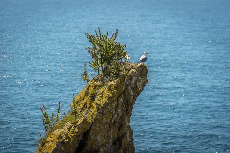 Una coppia i gabbiani predatori su una roccia impila al largo popolato dai gabbiani crescere di Raverbill sulla costa di Pembroke immagine stock