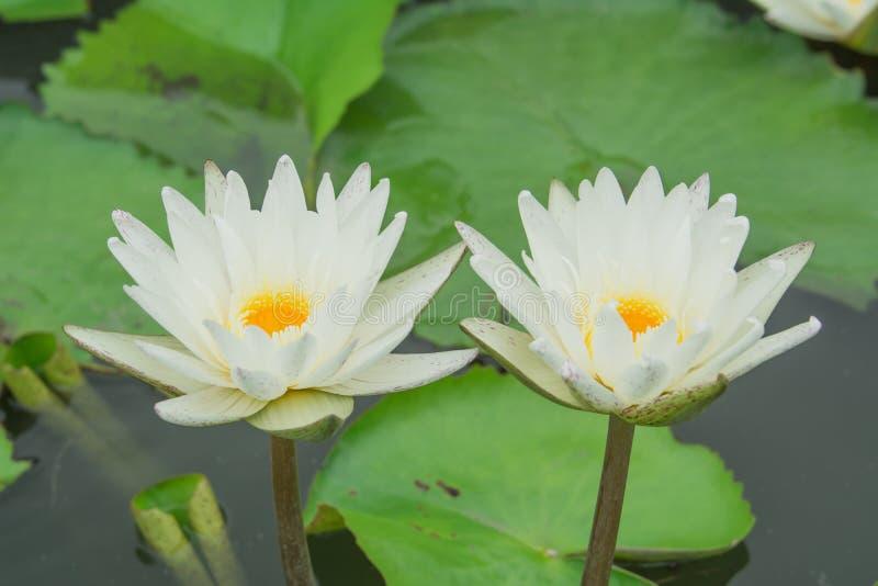 Una coppia i gigli bianchi sta fiorendo sopra l'acqua fotografie stock