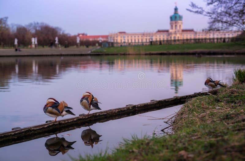 Una coppia le anatre di mandarino nei giardini di Charlottenburg, Germania immagini stock