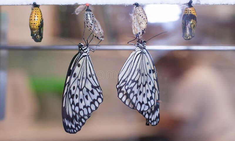 Una coppia le farfalle di carta dell'aquilone pende dai bozzoli che recentemente sono emerso appena da fotografia stock