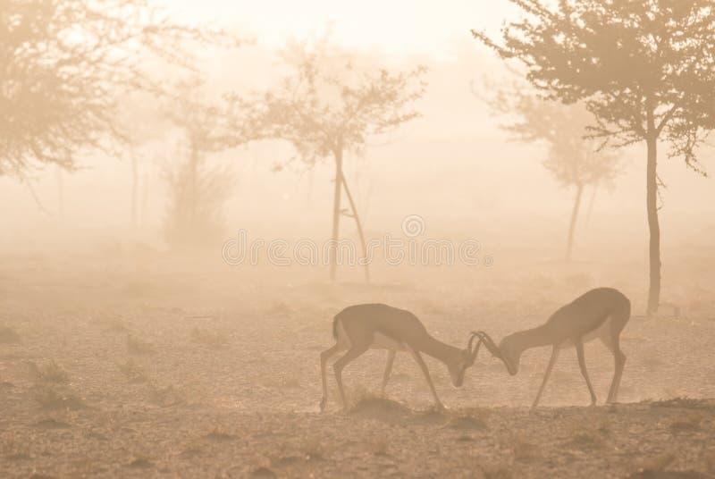 Una coppia le giovani gazzelle arabe che combattono durante le ore di mattina nebbiose La Doubai, UAE fotografia stock