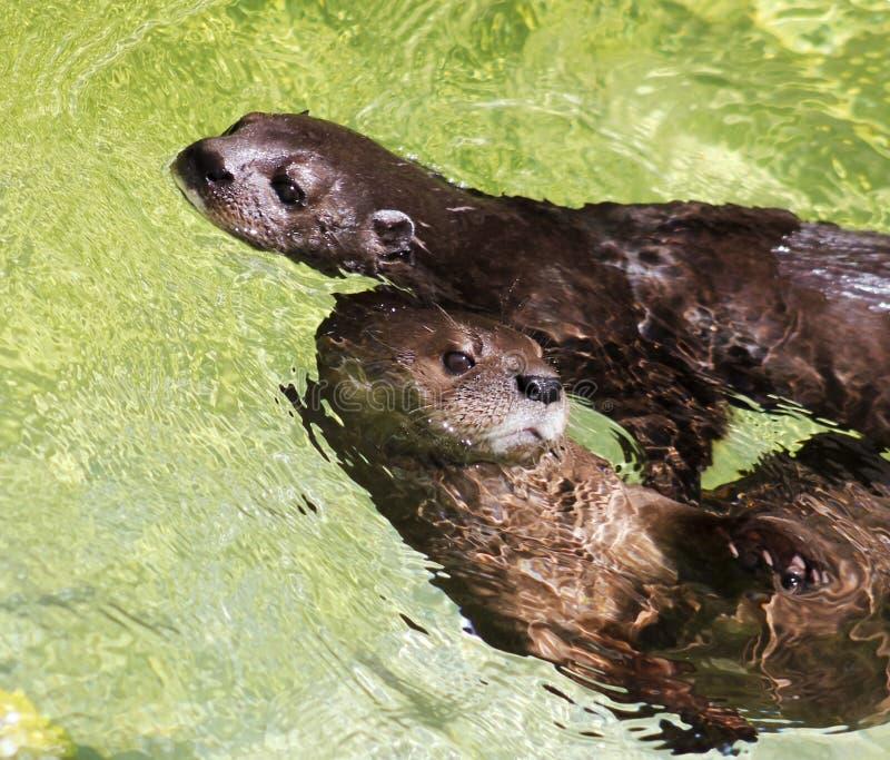 Una coppia le lontre con il collo macchiate Africano fotografia stock