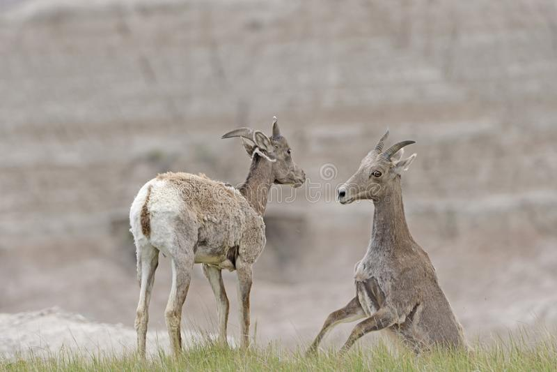 Una coppia le pecore Bighorn del deserto che giocano nei calanchi immagine stock