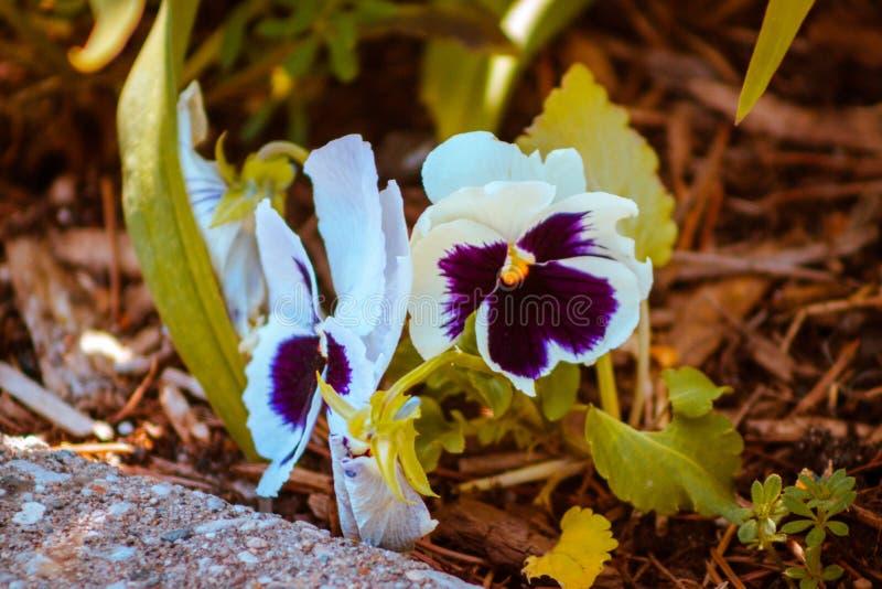 Una coppia le peonie porpora e gialle bianche in fioritura a Frederik Meijer Gardens a Grand Rapids Michigan fotografia stock libera da diritti