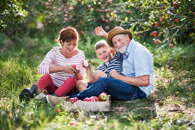 Una coppia senior con il piccolo nipote nel meleto che mangia le mele fotografie stock libere da diritti