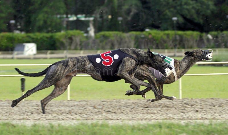 Una corsa di due cani del levriero immagine stock
