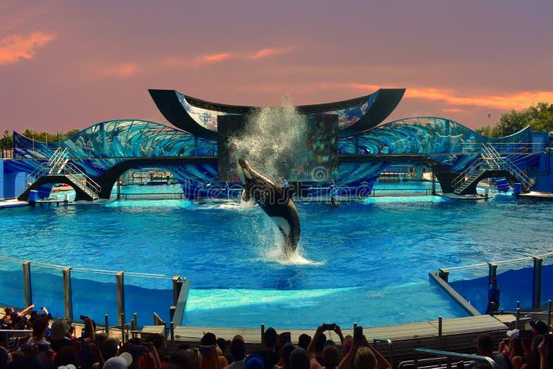 Una demostración de la orca de la firma de SeaWorld del océano en backround hermoso del cielo de la puesta del sol foto de archivo