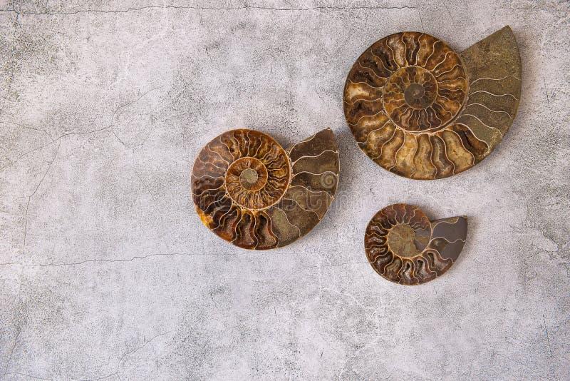 Una dimensione differente di tre ammoniti, coperture fossilizzate su fondo grigio, frattale naturale, spazio della copia Pietre f immagini stock