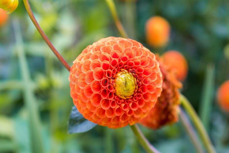 Una diversa flor anaranjada con los pétalos esféricos fotos de archivo libres de regalías