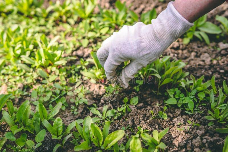 Una donna diserba le sue mani nei guanti di una pianta nel giardino fotografia stock libera da diritti