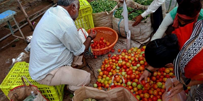 Una donna indiana del villaggio che trova pomodoro fresco dai lotti immagine stock libera da diritti