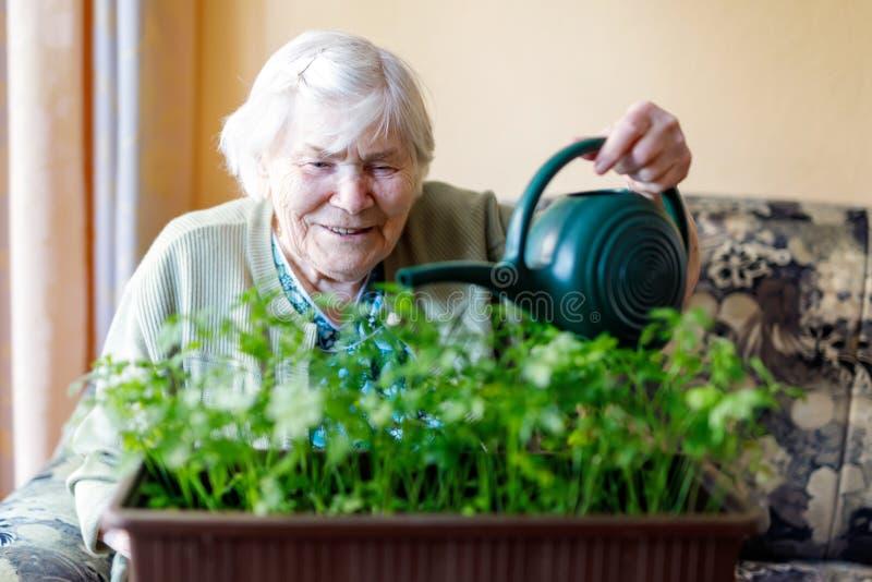 Una donna senior di 90 anni che innaffiano le piante del prezzemolo con acqua può a casa fotografia stock libera da diritti