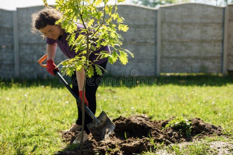 Una donna sta piantando una quercia nel giardino fotografia stock