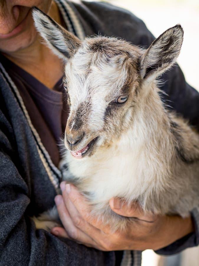 Una donna sta tenendo giovane goatling sulle sue mani Preoccupandosi per gli ani fotografie stock