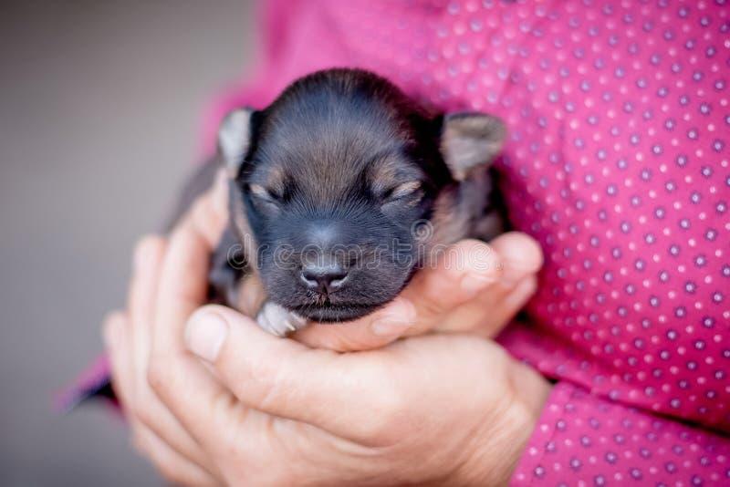 Una donna tiene un cucciolo del neonato in sue mani Una manifestazione di amore per animals_ fotografia stock libera da diritti