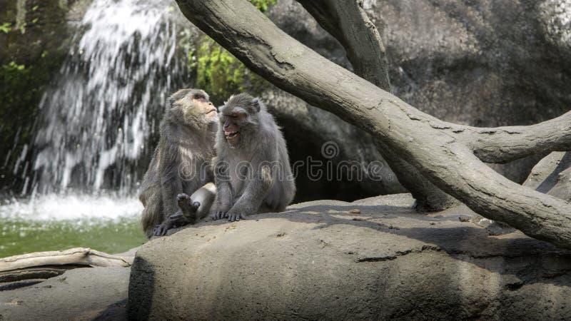 Una escena divertida de monos de risa Dos macaques formosanos de la roca de los adultos imagen de archivo