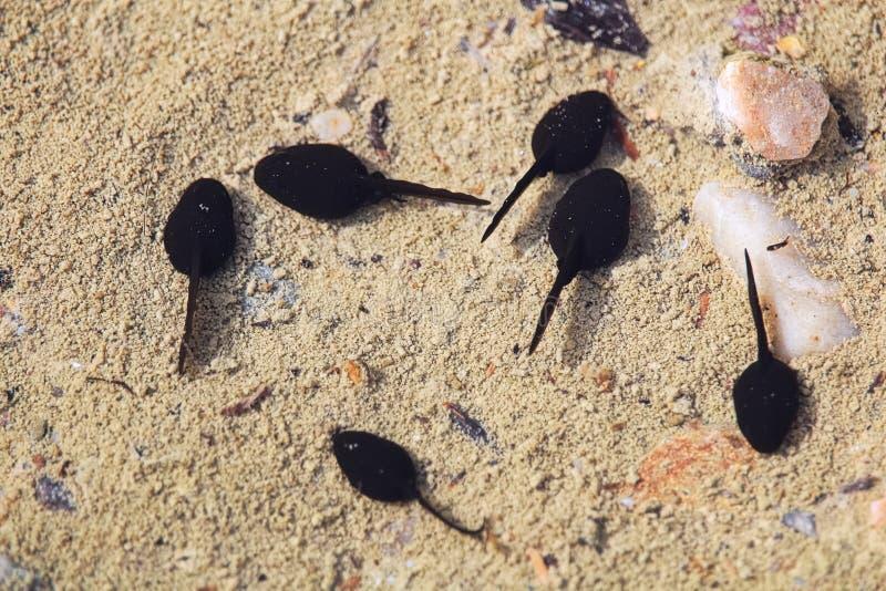 Una escuela de los renacuajos que agrupan en agua poco profunda fotografía de archivo