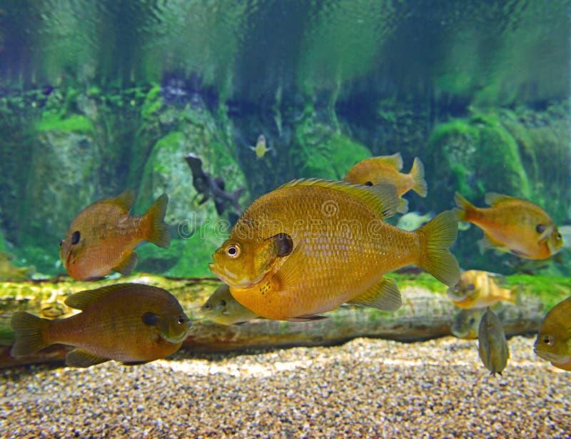 Una escuela del Sunfish del Lepomis macrochirus fotos de archivo libres de regalías